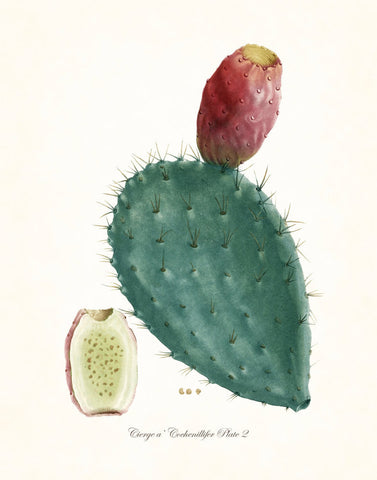 French Cactus Series No.2 - Botanical Art Print