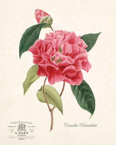French Camelia Reticulata Botanical Art Print