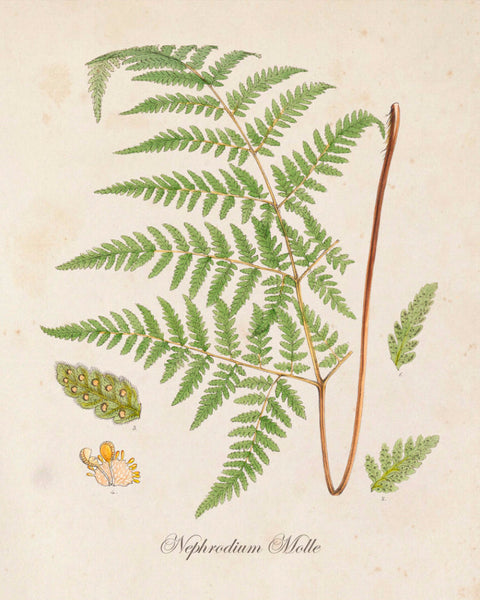 British Fern No.5 Botanical Print - Giclee Art Print