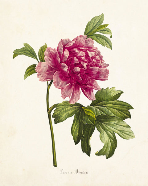 Mountain Peony Botanical Art Print No. 2