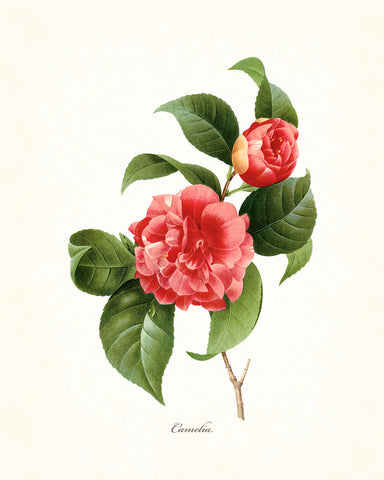 Redoute Series No.1 Camelia - Botanical Art Print