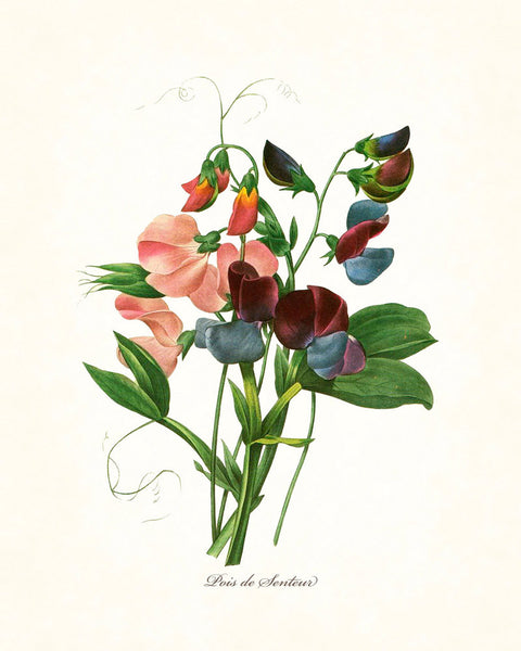 Redoute Series No.1 Sweet Pea - Botanical Art Print