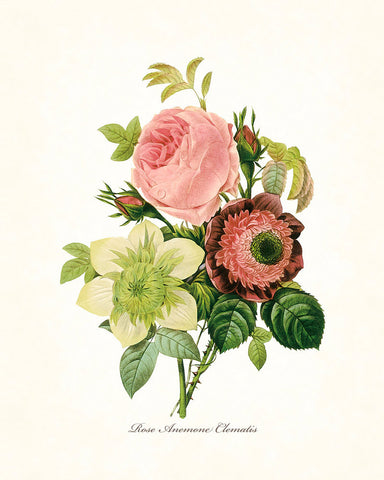 Redoute Series No.1 Rose Anemone Clematis - Botanical Print