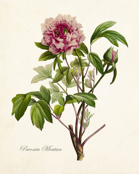 Paeonia Moutan No. 22 Botanical Print