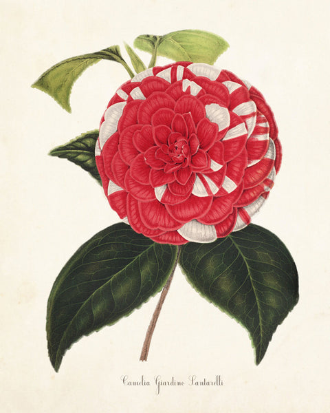 French Camelia Giardino Botanical Art Print