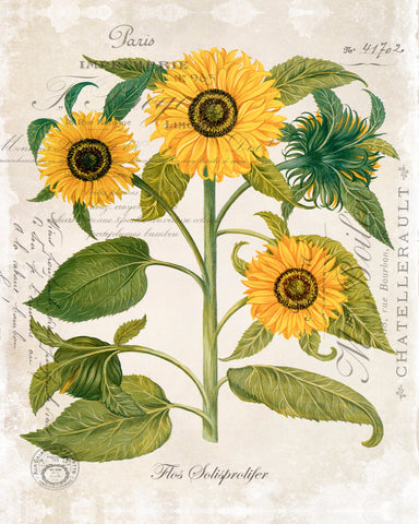 French Sunflower Trio No. 2 - Botanical Art Print