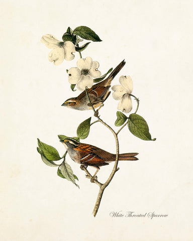Vintage Audubon White Throated Sparrow