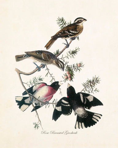 Vintage Audubon Rose Breasted Grosbeak
