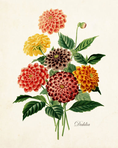 French Dahlia Antique Botanical Art Print