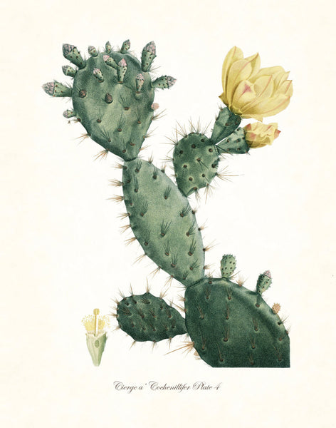 French Cactus Series No.4 - Botanical Art Print