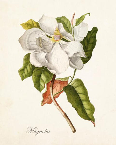 Antique Magnolia Botanical Print No. 1