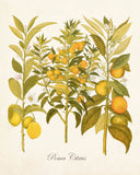 Lemon Citrus No. 23 Botanical Print