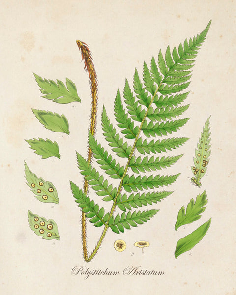 British Fern No.2 Botanical Print - Giclee Art Print