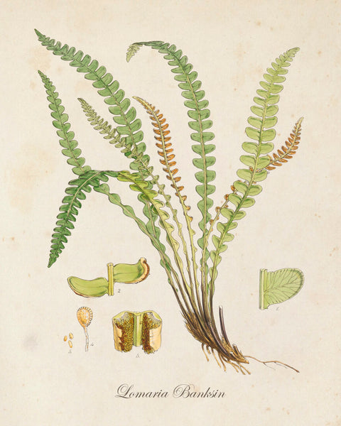 British Fern No.4 Botanical Print - Giclee Art Print