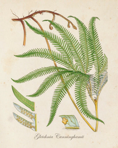 British Fern No.6 Botanical Print - Giclee Art Print