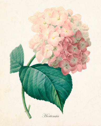 French Pink Hydrangea Hortensia Botanical Print