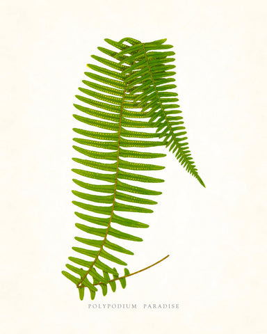 Fern Vintage Fern Series 1 No. 1 - Botanical Art Print