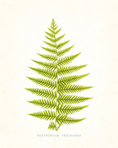 Fern Print - Vintage Fern Series 1 No. 2 - Botanical Art Print