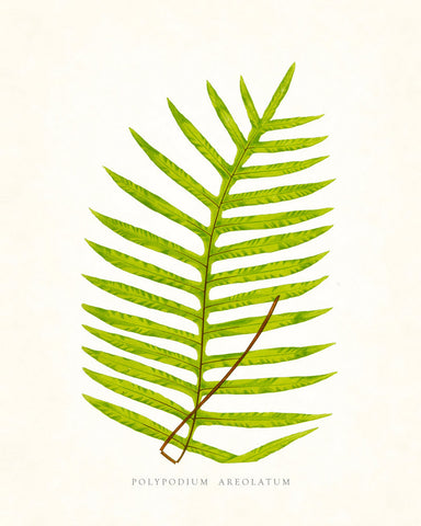 Fern Vintage Fern Series 1 No. 6 - Botanical Art Print
