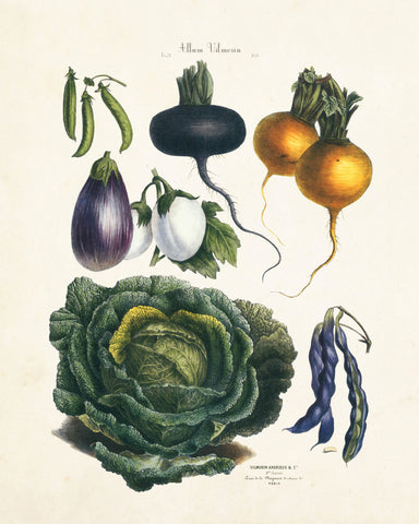 French Vegetable Print No. 21 - Botanical Print
