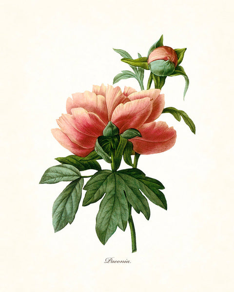 Redoute Series No.1 Peony - Botanical Art Print