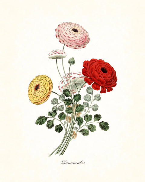 Ranunculas Botanical Art Print No. 3