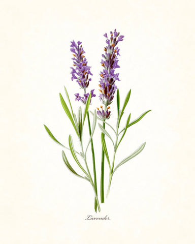 French Lavender Botanical Print