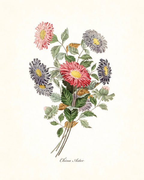 China Aster - Botanical Giclee Art Print