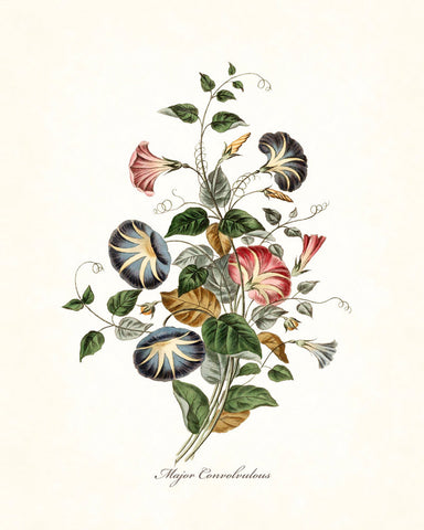 Major Convolvulous Botanical Art Print No. 14