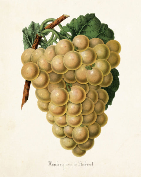 Hambour Grape No.1 Botanical Print