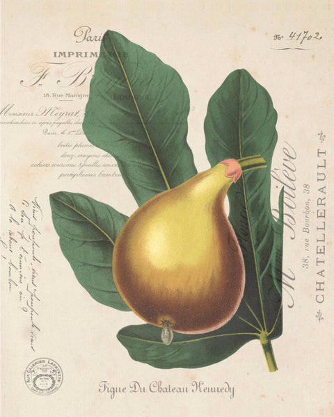French Fig Botanical Collage - Giclee Print