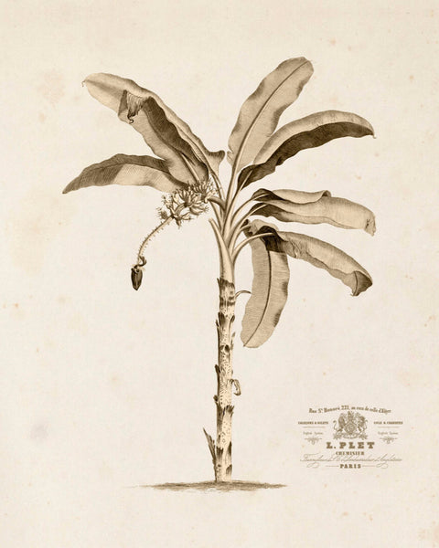 Banana Palm Tree No.1 Sepia Tint - Botanical Art Print