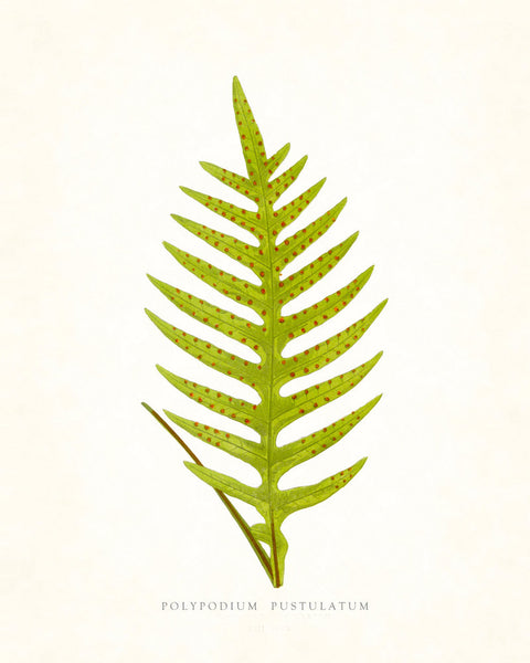 Fern Vintage Fern Series 1 No. 3 - Botanical Art Print