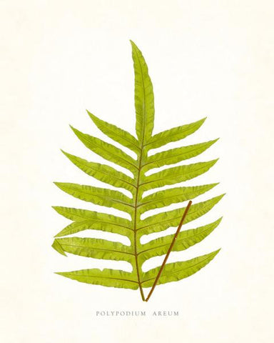 Fern Vintage Fern Series 1 No. 4 - Botanical Art Print