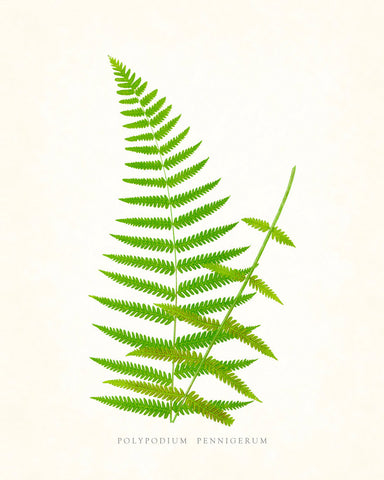 Fern Vintage Fern Series 1 No. 7 - Botanical Art Print