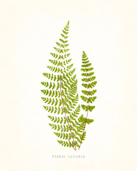 Fern Vintage Fern Series 1 No. 11 - Botanical Art Print