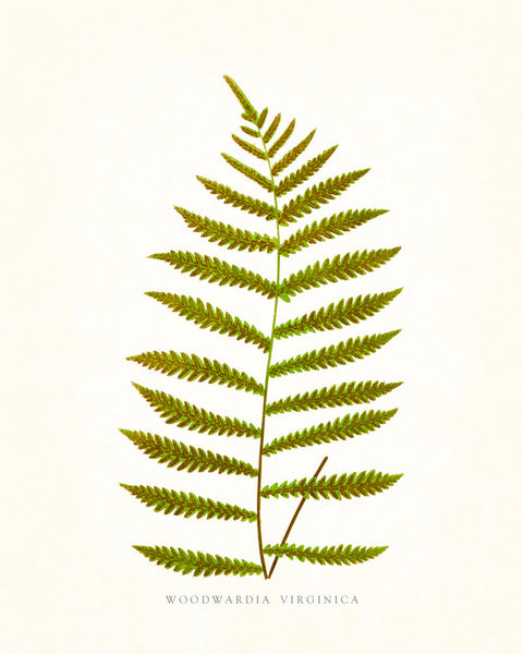 Fern Vintage Fern Series 1 No. 17 - Botanical Art Print
