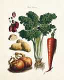 French Vegetable Print No. 32 - Botanical Print