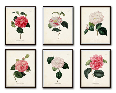 French Camellias Print Set No. 6 - Botanical Print Set