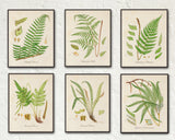 British Ferns Print Set 2
