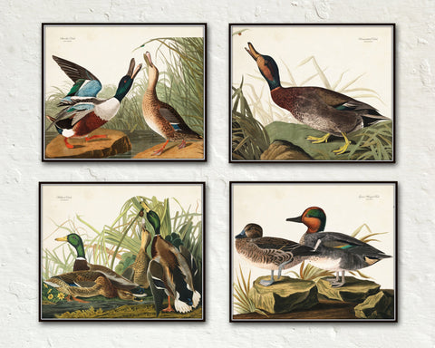Vintage Audubon Duck Print Set No. 1 - Bird Print Set