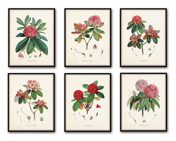 Rhododendron Print Set No. 1 - Botanical Prints