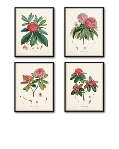 Rhododendron Botanical Print Set No. 2 - Canvas Art Prints