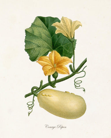 French Botanical Squash Print No.10 - Giclee Print
