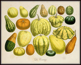 French Botanical Squash Print No.20 - Giclee Print