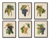 French Grapes Print Set 1 - Botanical Art Print