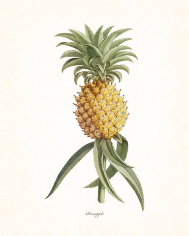 Vintage Tropical Pineapple - Botanical Print