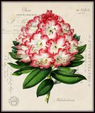 Rhododendron Collage Botanical Print No. 3