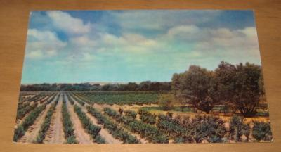 Vintage Typical California Grape Vineyard Postcard