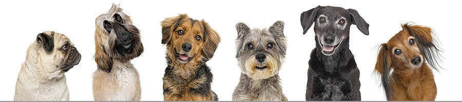Six smiling dogs photographed in studio with white background
